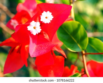 White flowers meaning images stock photos vectors shutterstock red bougainvillea white flowers thai call fuengfah have a good meaning prosperity in mightylinksfo