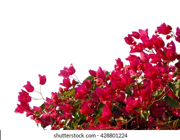 Red  bougainvilleas isolated on white background.