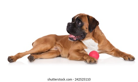red boxer dog with a toy ball