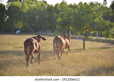 Red Brahman in Thailand, Cattle Quality Breed By Thai Peple