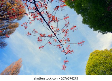 Red branch in the spring