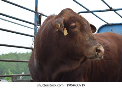 red brangus young cattle in a expo