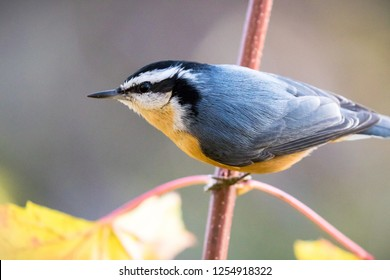 Red breasted nuthatch on a tree branch in Autumn