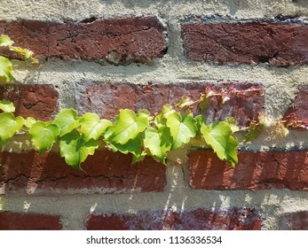 red brick wall with green vine or plant