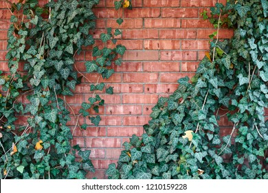 red brick wall and ivy as background