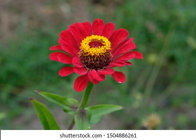 Red, bright flower of zinnias with green leaves and stems close up. A flower (zinnia violacea) with a cylindrical middle in the garden. Red zinnia flower in tropical garden.