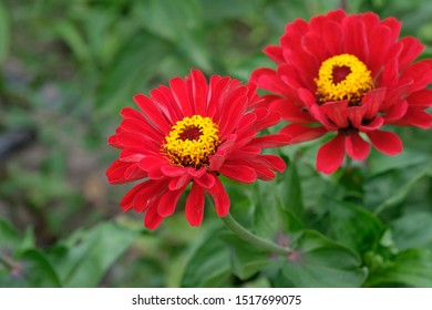 Red, bright flower of zinnias with green leaves and stems close up. A flowers (zinnia violacea) with a cylindrical middle in the garden. Red zinnia flowers in tropical garden.
