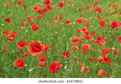 Red bright Poppy flowers in the green field