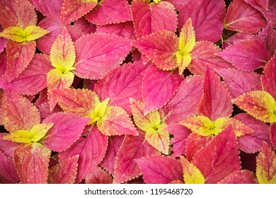 Red Bright Skullcaplike Coleus, Coleus Blumei, also named painted nettle background. They are cultivated as ornamental plants, which is popular as a garden plant for its bright colored foliage.