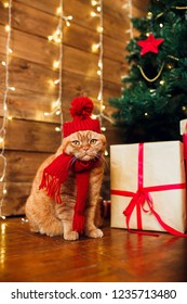 Red british cat in knitted hat and scarf sitting under Christmas tree and present boxes. Concept of the New Year and Christmas