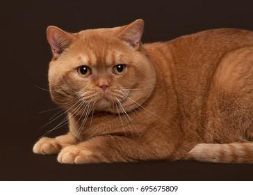 Red british male cat on dark brown background