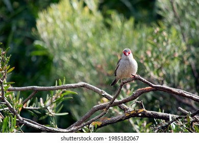 the red browed finch has a grey body green wings, red beak, and red over its eyes