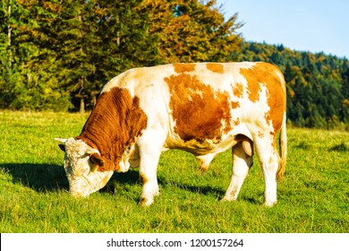 Red brown cow standing on the fresh meadow, Pieniny mountains National Park, Poland