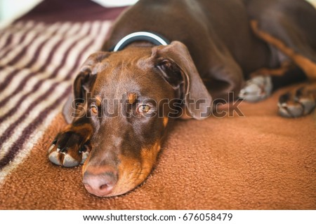 Red Brown Doberman Puppy Natural Ears Stock Photo Edit Now