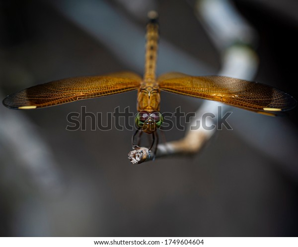 Red brown Dragonfly on the branch close up macro photography with blur background