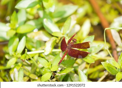 Red brown dragonfly perch on green leaf at  botanical gardens