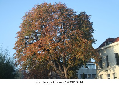 red and brown leaves on the street and at chestnut tree in Nieuwerkerk aan den IJssel during the autumn season in the Netherlands.