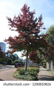 red and brown leaves on the street and at trees in Nieuwerkerk aan den IJssel during the autumn season in the Netherlands