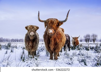 Red brown Scottish highlanders in a winter scenery