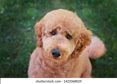 Red (brown) standard poodle with the cut of golden doodle looking into the camera with sweet expression, fluffy like teddy bear toy