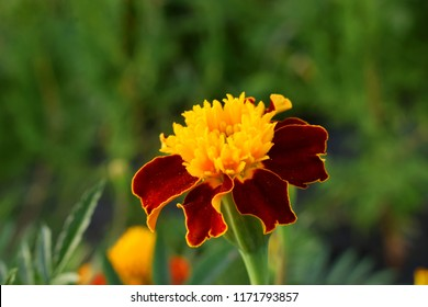 Yellow flower with red center images stock photos vectors a red and brown terry flower tagetes on a green background the yellow center of mightylinksfo