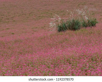 Red buckwheat flowers and Miscanthus sinensis