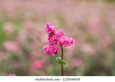 Red buckwheat flowers on the field. Blooming buckwheat. Buckwheat field on a summer sunny day. Buckwheat flower on the field. Russia.