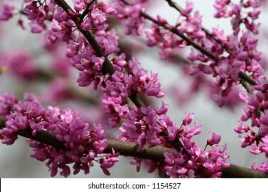 Red Bud Tree Blooms
