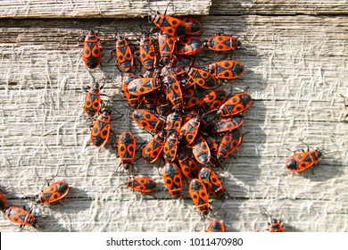 Red bug with black dots (firebug) on wooden background. Bunch of red beetles or firebugs bask in sun. Group autumn fire red bugs. Fire bug (Pyrrhocoris apterus) bugs of 9–15 mm feeding by mallow seeds