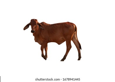 Red bull on a white background