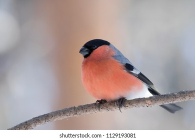 Red bullfinch sits on a branch in the forest