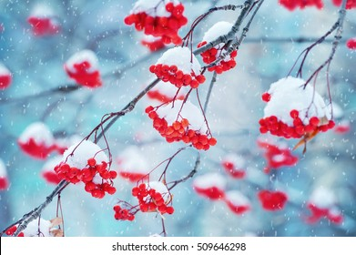 Red bunches of rowan covered with the first snow
