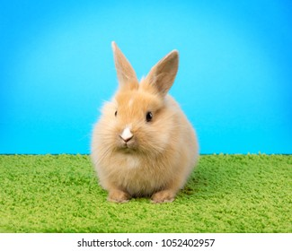 Red bunny rabbit portrait on grass background