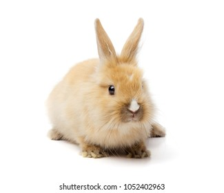 Red bunny rabbit portrait on white background