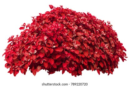 Red bush isolated on white background