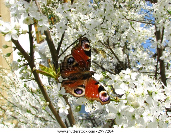 Red butterfly on the white blooming apple-tree
