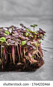 Red cabbage, fresh sprouts and young leaves front view over gray. Vegetable and microgreen. Also purple cabbage, red or blue kraut. Macro photo