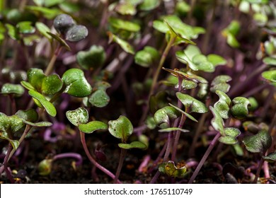 Red cabbage, fresh sprouts and young leaves front view , Vegetable and microgreen. Also purple cabbage, red or blue kraut. Cotyledons of Brassica oleracea in potting compost. Macro photo.