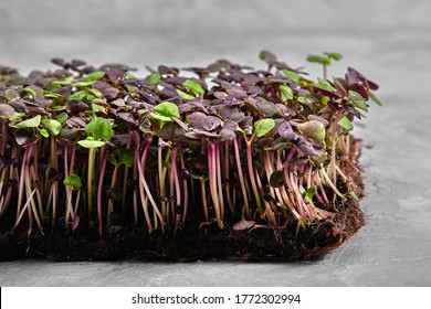 Red cabbage, fresh sprouts and young leaves front view over gray. Vegetable and microgreen. Also purple cabbage, red or blue kraut. Macro photo - Shutterstock ID 1772302994