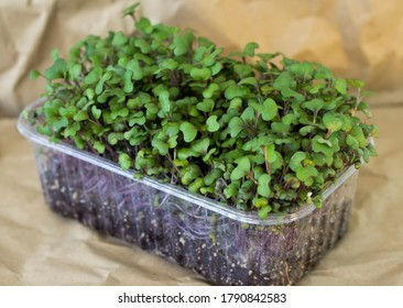 Red cabbage, fresh sprouts and young leaves in the box. Vegetable and microgreen. Also purple cabbage, red or blue kraut. Cotyledons of Brassica oleracea in potting compost. Macro photo.