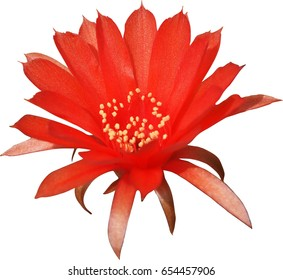 red cactus flower isolated