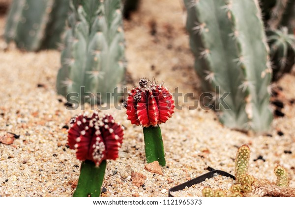 Red cactus on ground with a sharpness in park.