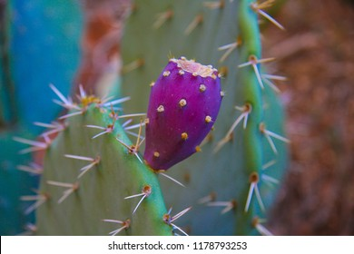 Red Cactus Pear on Prickly Pear Cactus