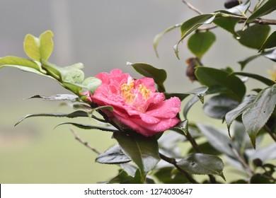 Red Camelia flower