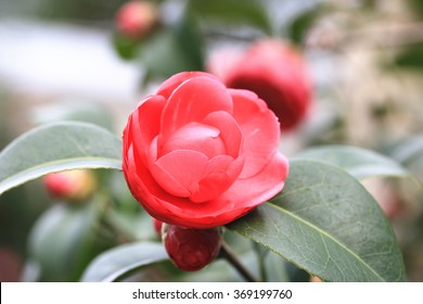 Red Camellia flower closeup,beautiful red flowers and buds blooming in the garden in spring