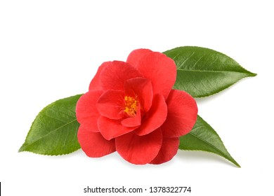 Red camellia flower with leaves  isolated on white