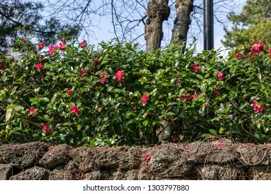 Red camellia flowers blossoming over the traditional korean jeju island wall.