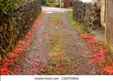 Red Camellia flowers fallen at roadside in spring rain Jejudo, Korea