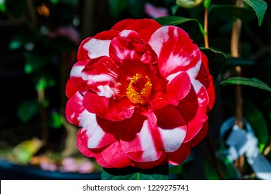 Red camellia japonica flower, close up. Camellia plant var. Memphis Belle with red white blooms and evergreen glossy foliage.