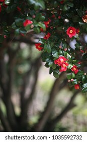 Red camellia(camellia japonica) flower blooming in the garden at the middle of sunny spring day with green leaf, Odongdo, Korea